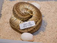 Clutch 1501 - Mom on eggs :)