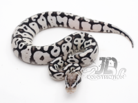 Firefly Yellowbelly SK Axanthic