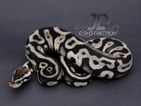 Pastel Leopard SK Axanthic