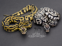 Pastel Leopard vs Pastel Leopard SK Axanthic