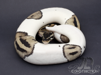 SK Lightning (SK Axanthic Pied)
