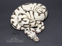 Firebee Yellowbelly SK Axanthic