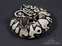 Pastel Vanilla Yellowbelly SK Axanthic