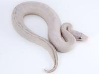 Pastel Ivory SK Axanthic