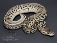 Pewter SK Axanthic