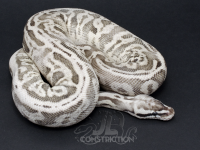 Superfly Leopard SK Axanthic (Adult)