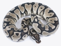 Yellowbelly SK Axanthic