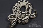 Fire Yellowbelly SK Axanthic