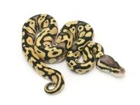 Pastel Yellowbelly