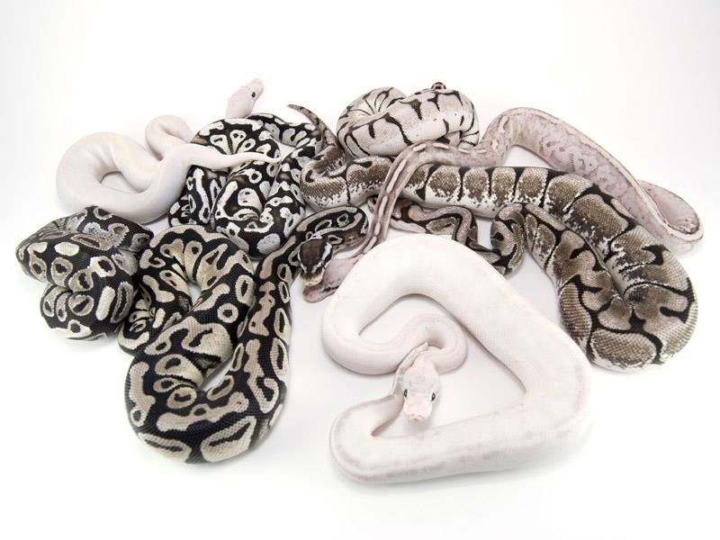JD Constriction | Specializing in captive bred designer Axanthic