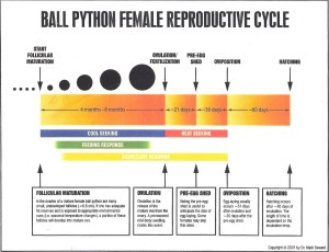 Ball Python Female Reproductive Cycle